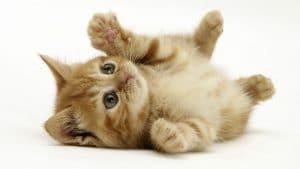 chaton jouant